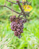 Shrivelled Grapes in Autumn Stock Images