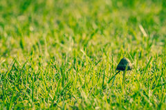 Shroom in green grass Stock Images