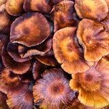Shrooms di mogano Fotografia Stock Libera da Diritti