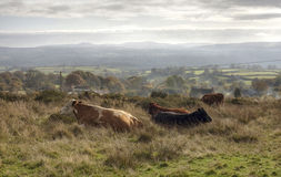 Shropshire cattle Royalty Free Stock Image