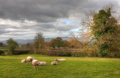 Shropshire countryside with sheep Stock Images
