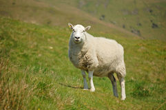 Shropshire ewe. Single shropshire sheep standing in countryside Royalty Free Stock Photos