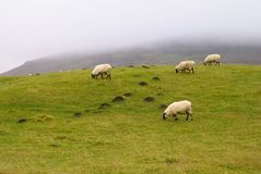 Shropshire Hills Sheep. Sheep on a hill farm, low cloud behind, Shropshire, UK Royalty Free Stock Images