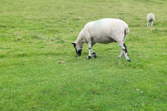 A shropshire sheep Royalty Free Stock Photos