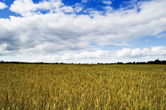 Shropshire Wheat Fields Royalty Free Stock Photos