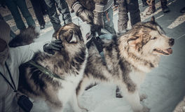 Shrovetide - the celebration and folk festival, Russia. Royalty Free Stock Photography