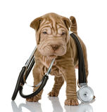 Shrpei与一个听诊器的小狗在他的脖子。 库存图片