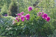shrub больших peonies розовый стоковая фотография