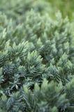 shrub можжевельника стоковые фотографии rf