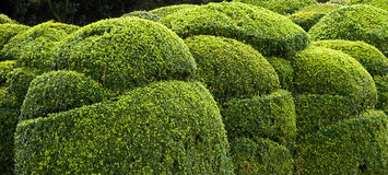Shrub. Picture of  several sculpted shrubs Stock Photo