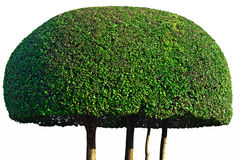 Shrub. Isolated round shape of a green shrub royalty free stock photo
