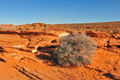 Shrub in Arizona desert. Scenic view of shrub in landscape of Grand Canyon, Arizona desert, U.S.A Stock Image