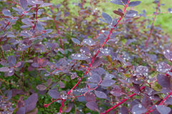 Shrub of barberry after rain royalty free stock photography