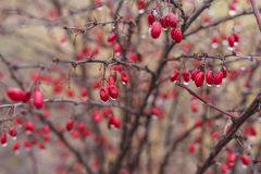 Shrub of barberry with ripe berries stock image