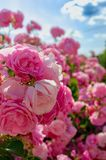 Shrub of beautiful roses under blue sky. Blooming beautiful spring roses under blue sky royalty free stock images