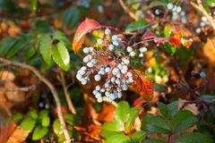 Shrub with blue berries of berberis with dew drops in Finland at autumn stock photo
