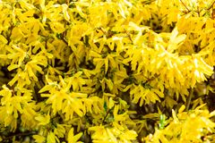Shrub with bright yellow flowers in spring stock photography