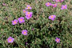 Shrub Cistus ladaniferus grows in a natural habitat royalty free stock photo
