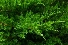 Shrub. Close-up of juniper shrub stock photo