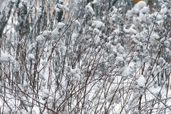 Shrub covered with snow. Stock Photos