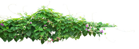 Shrub. Creeper plant on white background Royalty Free Stock Photo