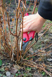 Shrub cutting. Gardening in spring royalty free stock photography