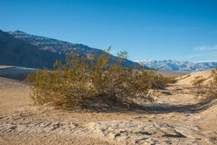 Shrub in Death Valley National Park Royalty Free Stock Photos