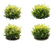Shrub decorative. Shrub decorative isolated, used in phytodesign. A PNG file is available stock image