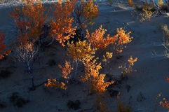 Shrub in Desert Royalty Free Stock Photo