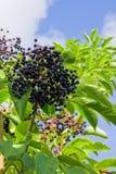 shrub elderberry стоковое изображение rf