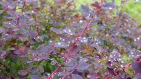 Shrub of European barberry in a garden after rain stock video footage