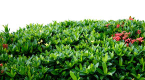 Shrub fence Stock Photography