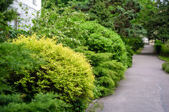 Shrub fence in garden Royalty Free Stock Images