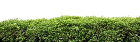 Shrub fence. Natural shrub fence on white background stock photography