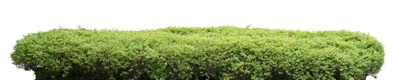 Shrub fence. Natural shrub fence on white background royalty free stock images