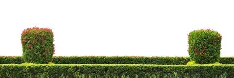 Shrub fence. Natural shrub fence on white background stock photos