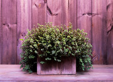 Shrub in flowerpot. Little green shrub in wooden square flowerpot It rests on the table top and pine wood backdrop in vintage tone, selective focus Royalty Free Stock Photos