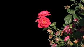 Flowers of blooming roses isolated. Shrub with flowers of blooming roses in the summer garden on a transparent background with alpha channel. Isolated objects stock video footage