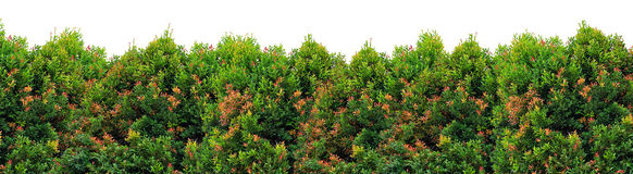 Shrub foliage. Shrub with mix green and red foliage Royalty Free Stock Photography