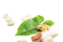Shrub frog, Moss frog, Royalty Free Stock Photo