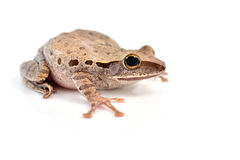 Shrub frog Royalty Free Stock Photos