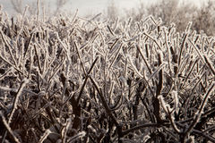 Shrub in frost Royalty Free Stock Photo