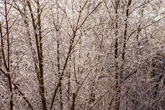 Shrub in frost Stock Image