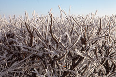Shrub in frost Royalty Free Stock Images