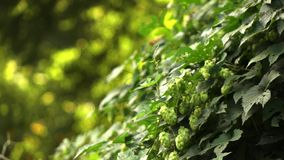 Shrub of green hops with cones on a clear day. Slow motion. 1080p full HD video. Hop bush with ripe cones. Beer production ingredient. Blurred background. Slow stock footage