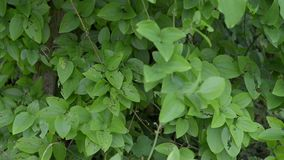 Shrub with green leaves stock footage
