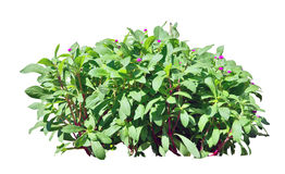 Shrub. Green shrub on white background royalty free stock image