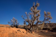 Shrub Haloxylon. In desert mountains Ulken-Bogytty in the National park Altyn-Emel, Kazakhstan Royalty Free Stock Photography