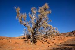 Shrub Haloxylon. In desert mountains Ulken-Bogytty in the National park Altyn-Emel, Kazakhstan Stock Images