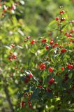 Shrub of honeysuckle with red berries vertical orientation. Green shrub of honeysuckle with lots of bright red ripe berries vertical orientation stock photography